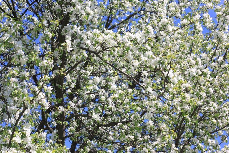 Piękni biali jabłek okwitnięcia i zieleni jabłoń liście w jabłku uprawiają ogródek w pogodnej pogodzie w wiośnie obrazy royalty free