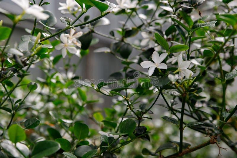 Piękni biali kwiaty Carissa macrocarpa, krzak z wyśmienicie egzotycznymi owoc obraz stock