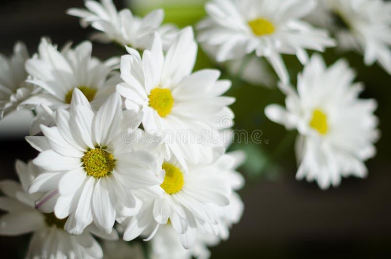 Piękni biali kwiaty chryzantema na ciemnym tle fotografia royalty free