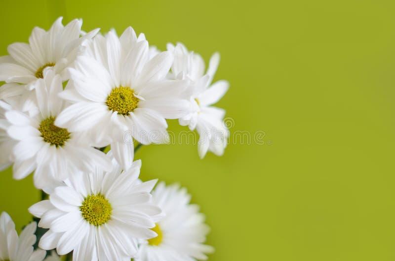 Piękni biali kwiaty chryzantema na zielonym tle zdjęcie stock