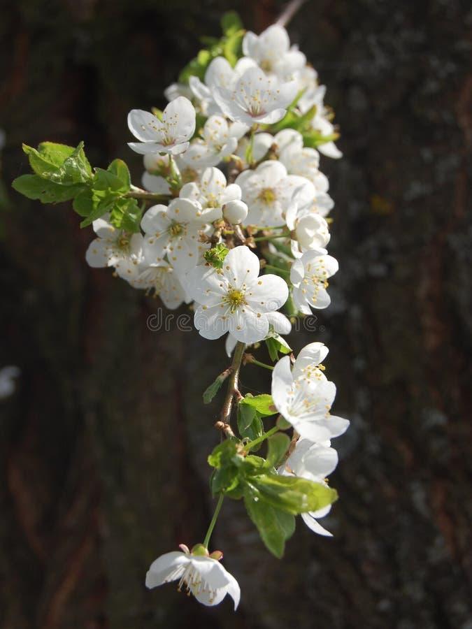Piękni biali kwiaty kwitnie szczególnie dla dziewczyny czereśniowy drzewo obrazy royalty free