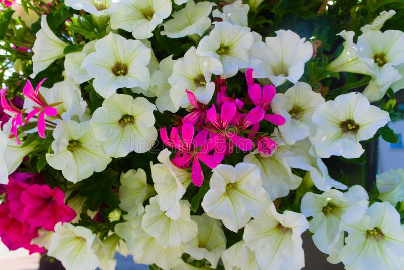 Piękni biali kwiaty kwitnie w ogródzie obraz royalty free