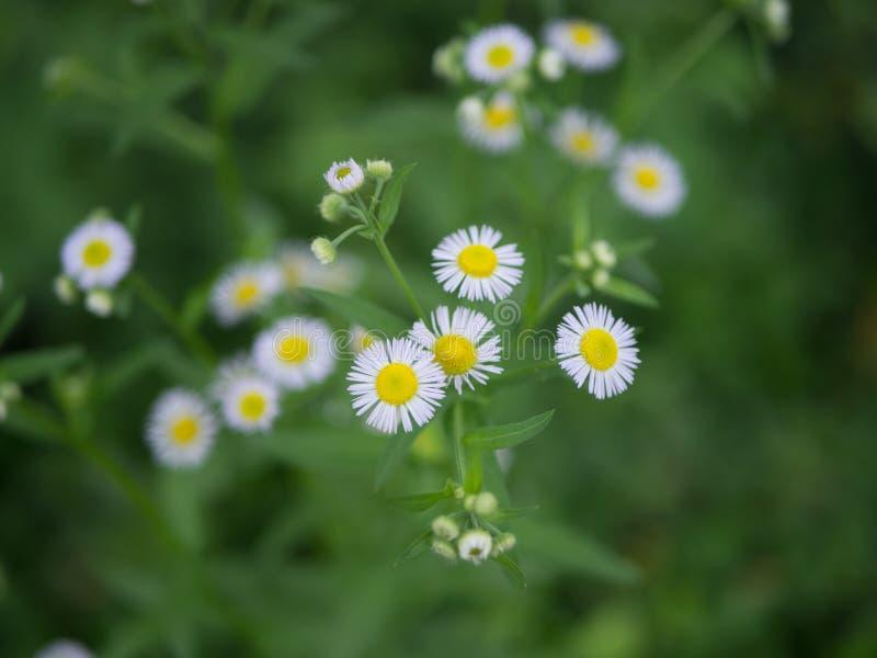 Piękni biali kwiaty robią ja uspokajać puszek zdjęcia royalty free