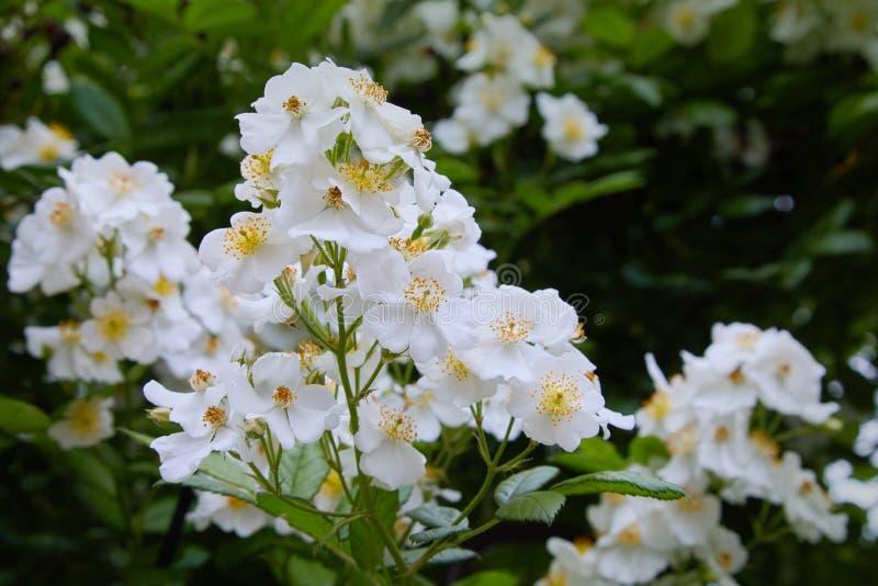 Piękni biali kwiaty zielony krzak w ogródzie w lecie obraz stock