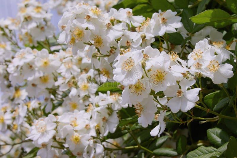 Piękni biali kwiaty zielony krzak w ogródzie w lecie zdjęcie royalty free