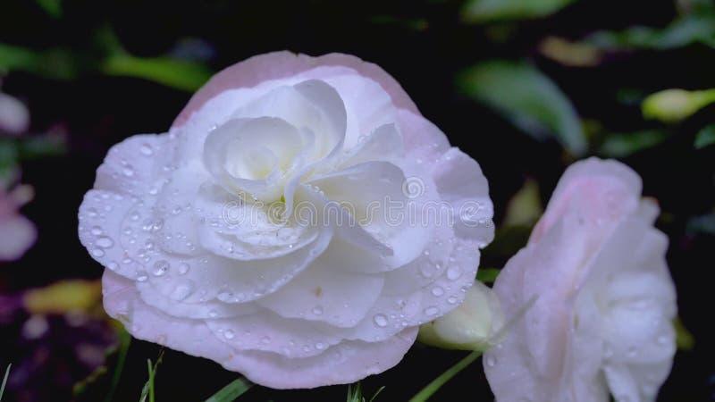 Piękni biel menchii asteru kwiaty w ogrodowym, Pięknym biel menchii asterze/kwitną w ogródzie zdjęcie royalty free