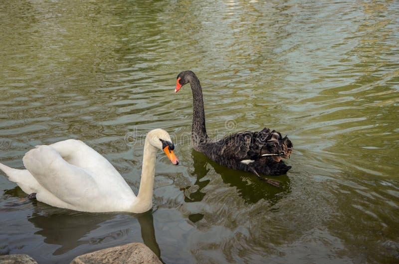 Piękni czarny i biały Łabędzi pływania na staw powierzchni, zdjęcie royalty free