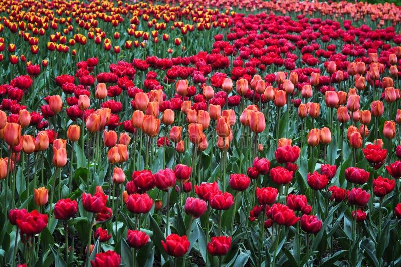 Piękni czerwoni i pomarańczowi tulipany w zielenieją ogród obrazy stock