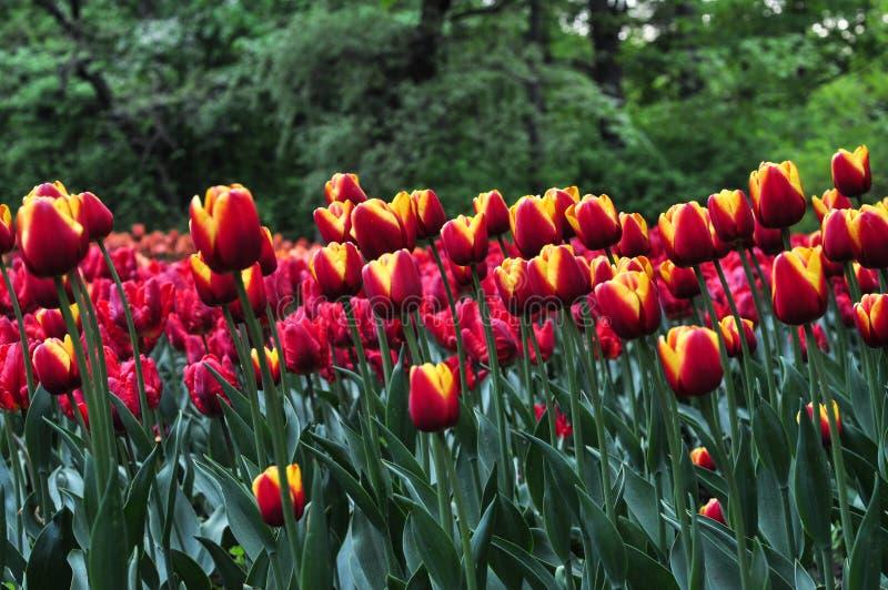 Piękni czerwoni i pomarańczowi tulipany w zielenieją ogród zdjęcia stock