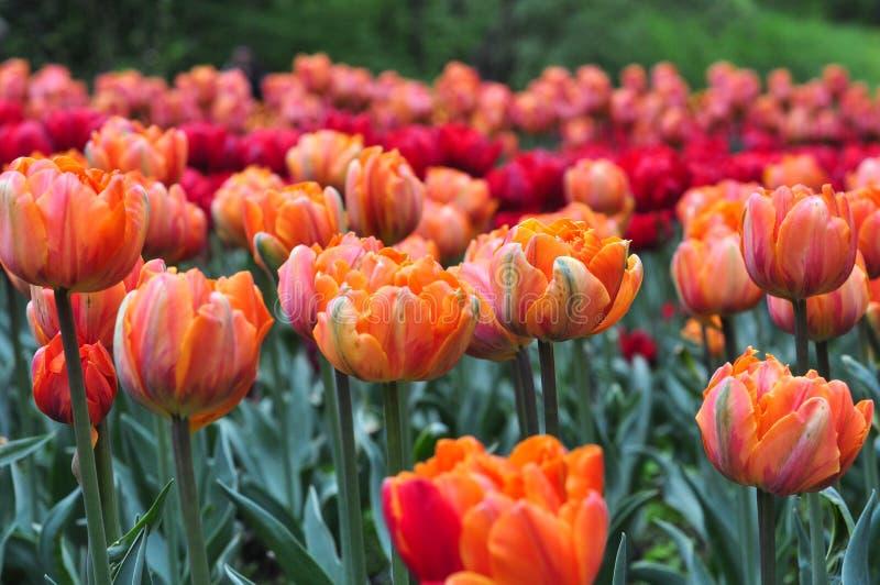Piękni czerwoni i pomarańczowi tulipany w zielenieją ogród fotografia stock
