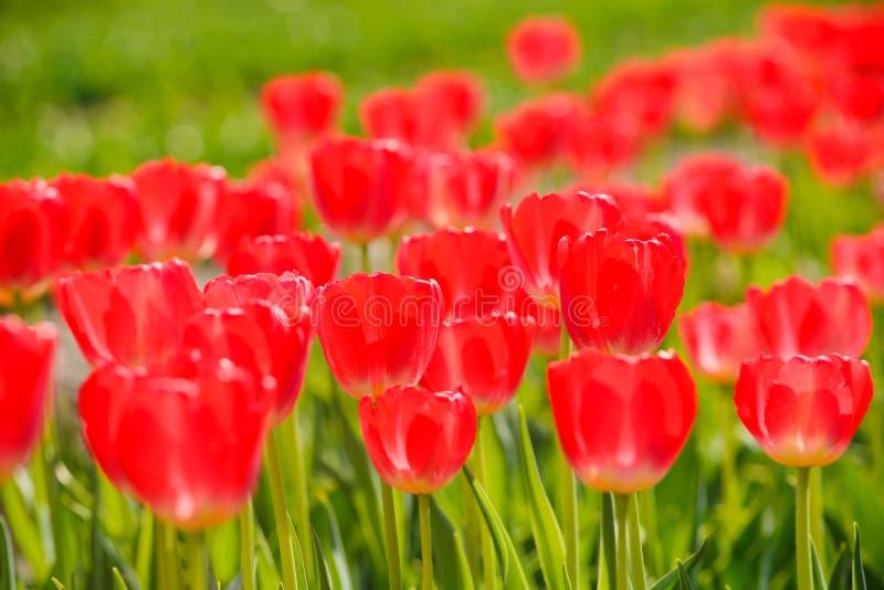 Piękni czerwoni kwiaty tulipany w wiośnie zdjęcie stock