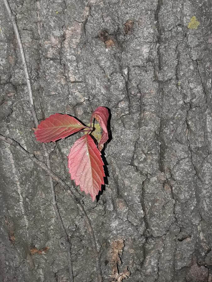 piękni czerwoni liście rośli na szarej i starej drzewnej barkentynie obraz stock
