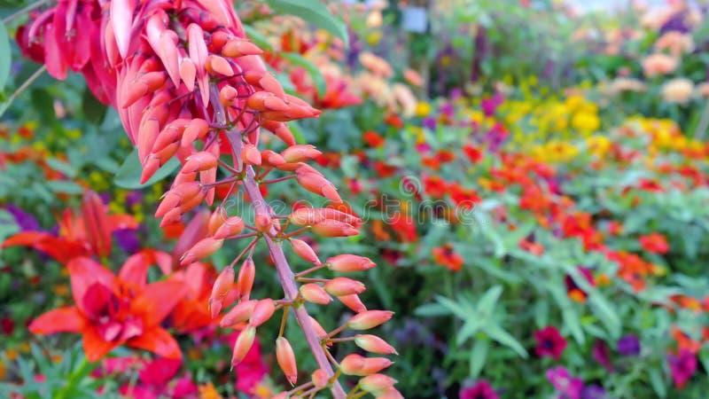 Piękni czerwoni niezwykli kolory jak koral obrazy royalty free