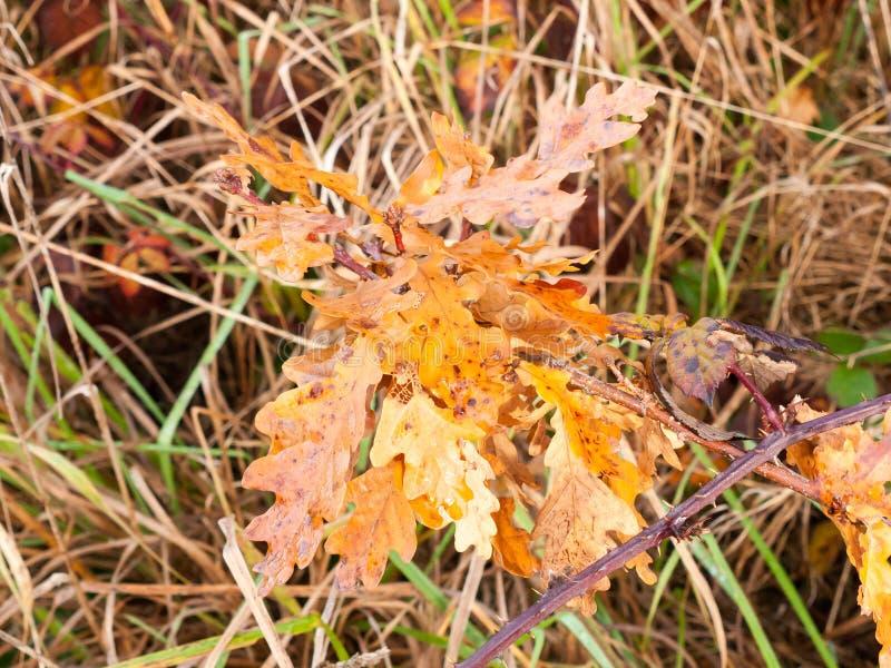 Piękni czerwoni pomarańczowego koloru żółtego jesieni nieboszczyka liście zamykają up fotografia stock