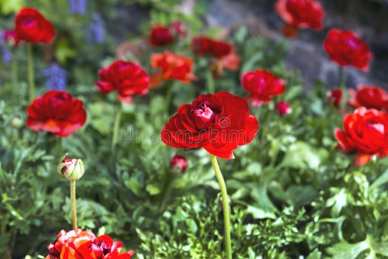 Piękni czerwoni soczyści kwiatów jaskiery Ranunkulyus Czerwona rewolucjonistka na słonecznym dniu w Hiszpańskim miasto parku obraz stock