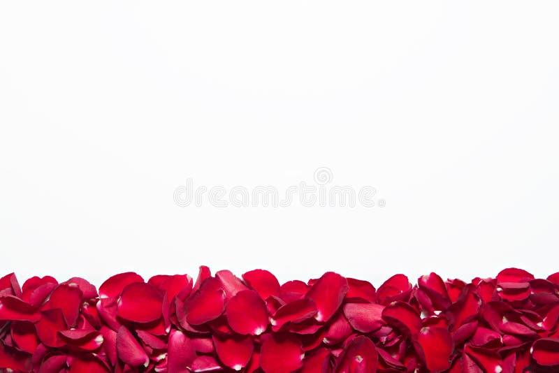 Piękni czerwonych róż płatki na białym tle Walentynka dzień, rocznicowy etc tło, zdjęcia stock