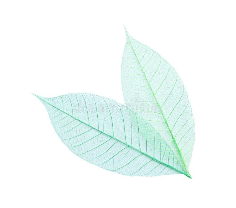 Piękni dekoracyjni kośców liście na białym tle obraz stock