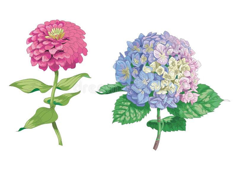Piękni delikatni kwiaty odizolowywający na białym tle Hortensja i cynie Wielki kwiatostan na trzonie z zielenią le i pączek ilustracja wektor
