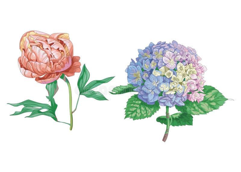 Piękni delikatni kwiaty odizolowywający na białym tle Hortensja i peonia Wielki kwiatostan na trzonie z zielonym lea i pączek ilustracja wektor