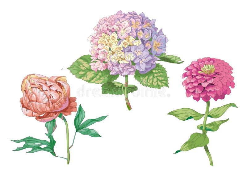 Piękni delikatni kwiaty odizolowywający na białym tle Hortensja, peonia i cynie, Ampuła pączkuje i kwiatostan na trzonie z royalty ilustracja