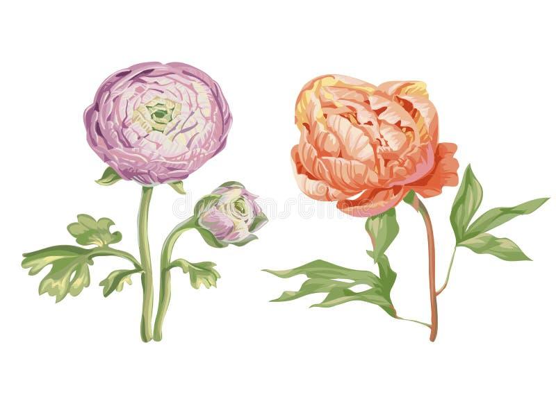 Piękni delikatni różowi peonia kwiaty odizolowywający na białym tle Ampuła pączkuje na trzonie z zielonymi liśćmi Botaniczny wekt ilustracji
