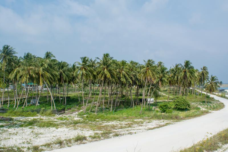 Piękni drzewka palmowe lasowi blisko wioski drogi przy tropikalną wyspą Maamigili zdjęcia royalty free