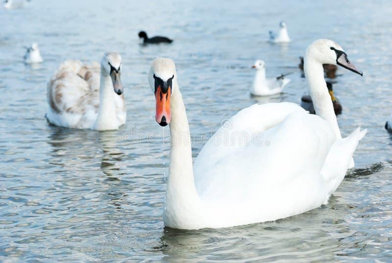 Piękni dzicy łabędź, kaczki i frajery, unoszą się blisko Czarnego morza c fotografia royalty free