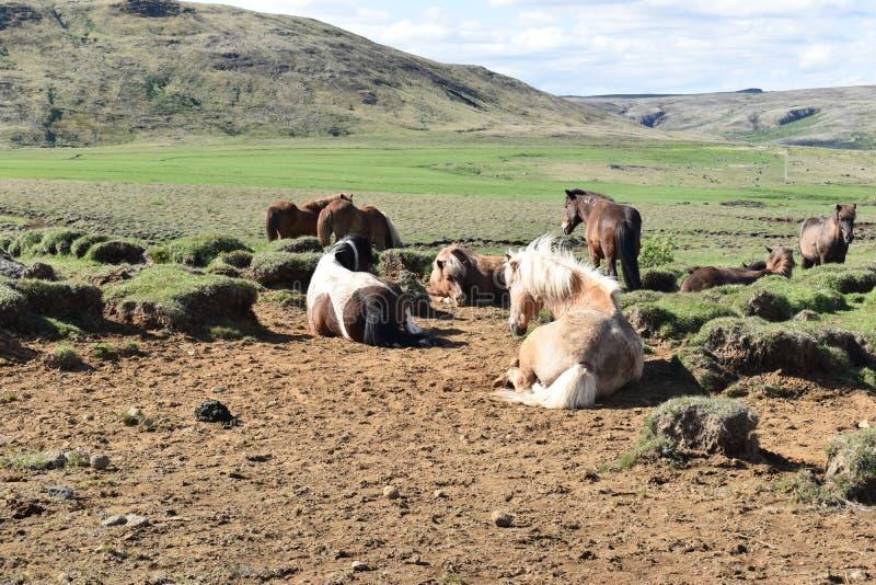Piękni dzicy Islandzcy konie z górami w tle fotografia royalty free
