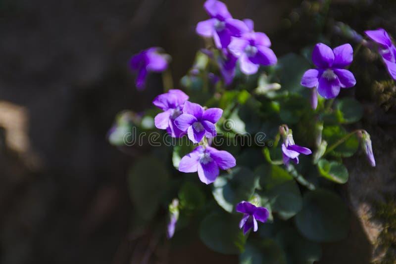 Piękni dzicy kwiaty w czarnym lesie w Niemcy zdjęcie stock