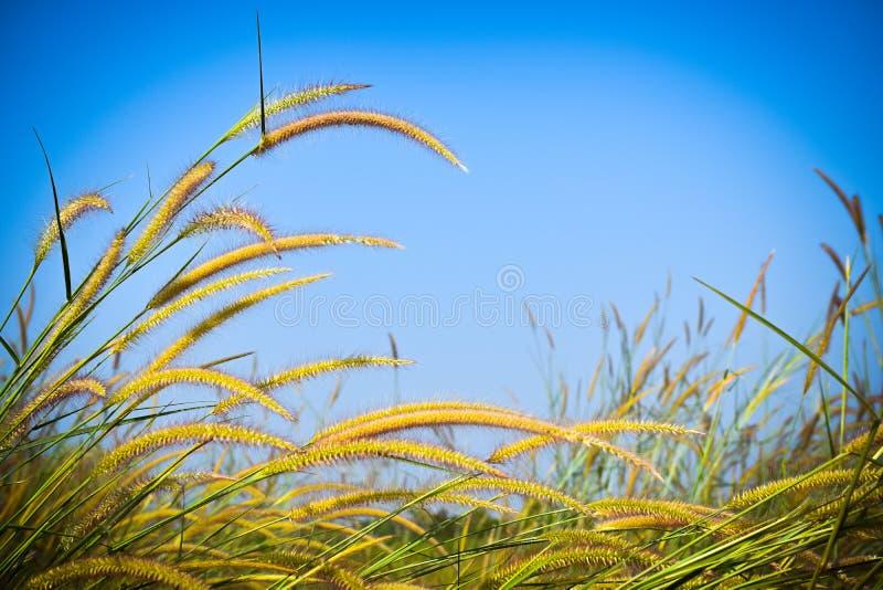 Piękni dzicy kwiaty w forestMission trawie wzdłuż bagna przy zmierzchem zdjęcie stock