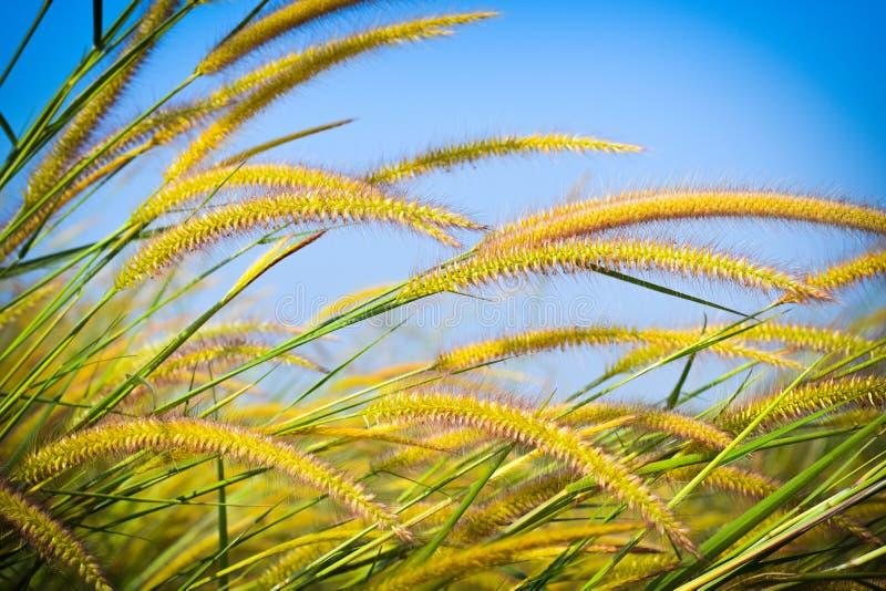 Piękni dzicy kwiaty w forestMission trawie wzdłuż bagna przy zmierzchem obraz royalty free