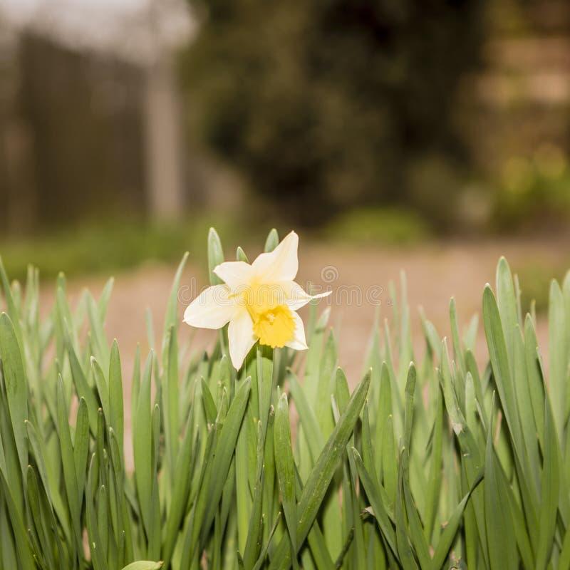 Piękni Dzwonkowi kwiaty kwitnie w ogródzie obraz royalty free