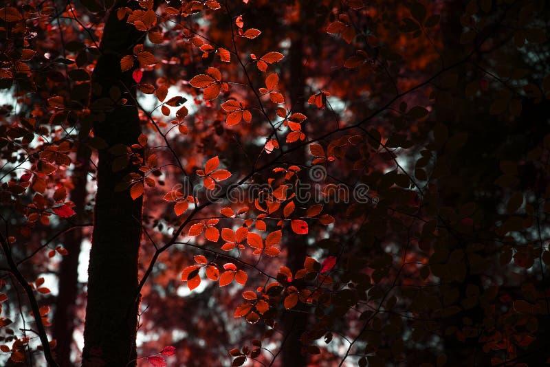 Piękni fałszywi czerwoni jesień spadku drzewa w spadku barwią w Nowych pierwszych planach zdjęcie stock