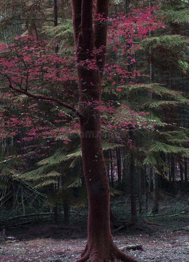 Piękni fałszywi czerwoni jesień spadku drzewa w spadku barwią w Nowych pierwszych planach obraz royalty free