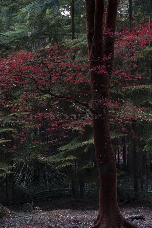 Piękni fałszywi czerwoni jesień spadku drzewa w spadku barwią w Nowych pierwszych planach fotografia royalty free