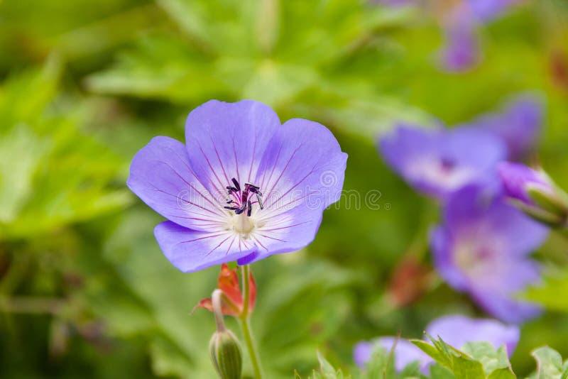 Piękni fiołki w ogródzie botanicznym obraz stock