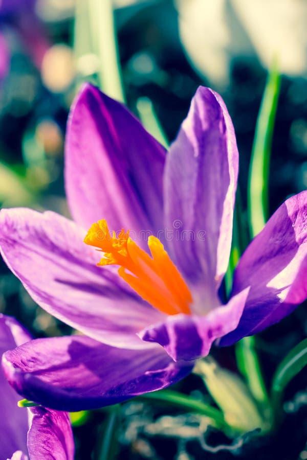 Piękni fiołkowi krokusy w ogródzie, makro- strzał obraz royalty free