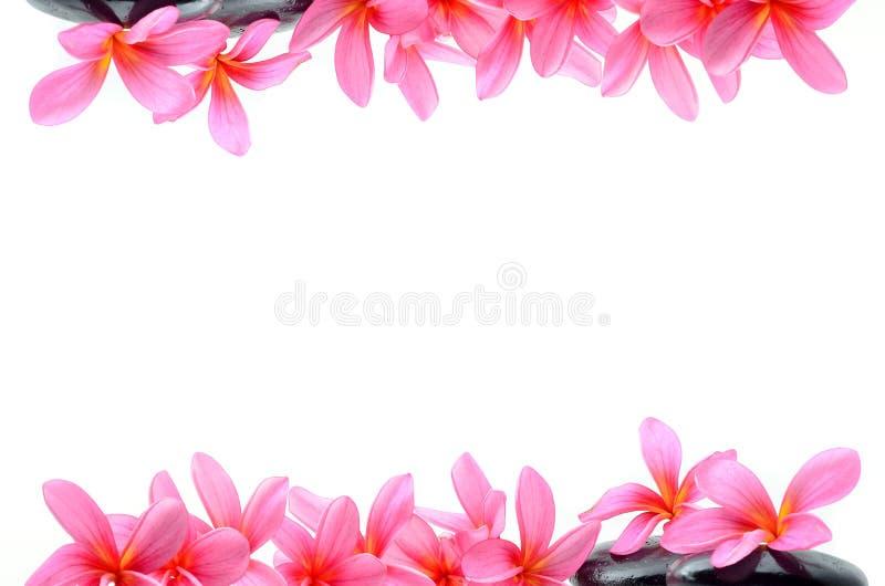 Piękni Frangipani kwiaty obrazy stock