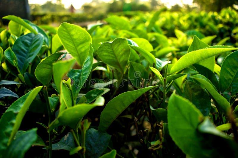 Piękni i świezi zielona herbata liście obraz stock