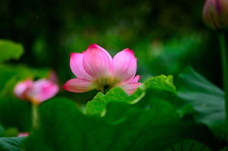 Piękni i illusory lotosowi kwiaty fotografia stock