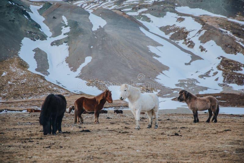 piękni icelandic konie pasa na paśniku blisko śnieżystej góry, zdjęcie royalty free
