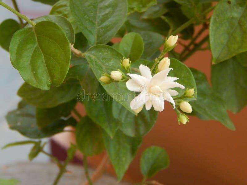 Piękni jaśminów kwiaty, liście i fotografia royalty free