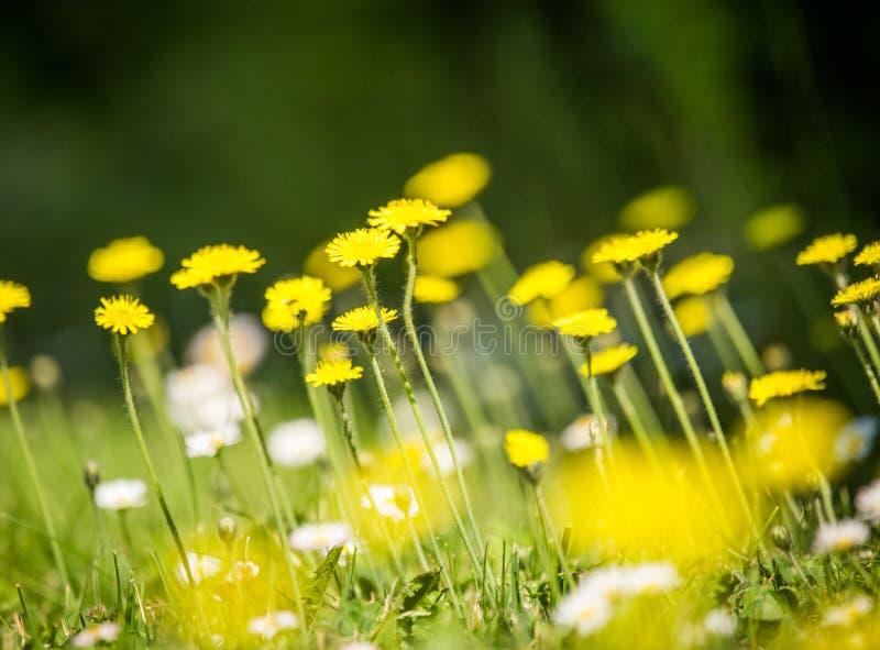 Piękni, jaskrawi żółci dandelions kwitnie w trawie, zdjęcie stock