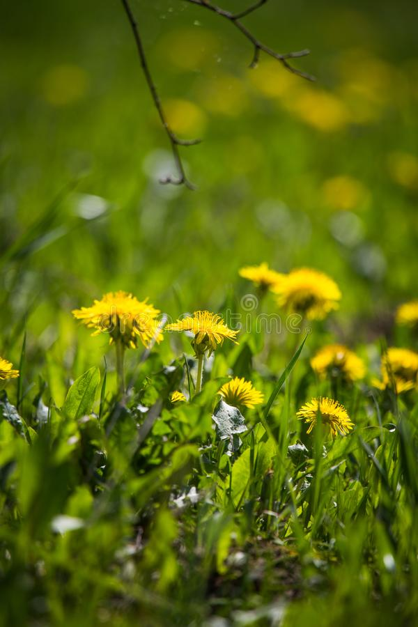 Piękni, jaskrawi żółci dandelions kwitnie w trawie, fotografia stock