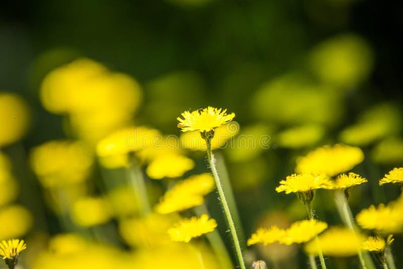 Piękni, jaskrawi żółci dandelions kwitnie w trawie, zdjęcia stock