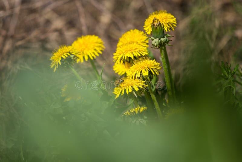 Piękni, jaskrawi żółci dandelions kwitnie w trawie, obraz royalty free