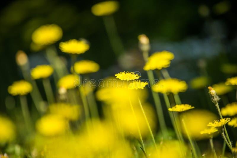 Piękni, jaskrawi żółci dandelions kwitnie w trawie, fotografia royalty free