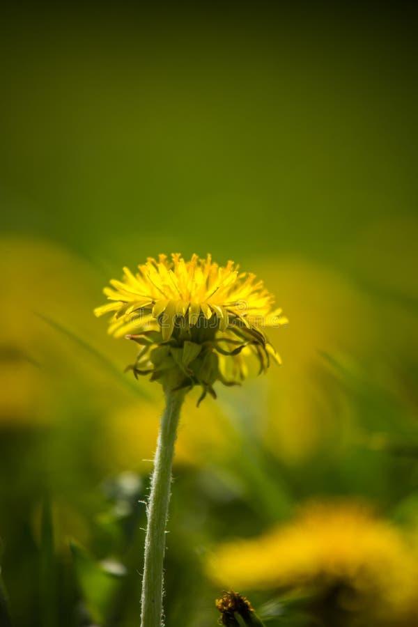 Piękni, jaskrawi żółci dandelions kwitnie w trawie, obraz stock