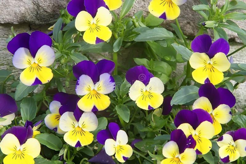 Piękni jaskrawi fiołka i kolor żółty wiosny pansies zdjęcia royalty free