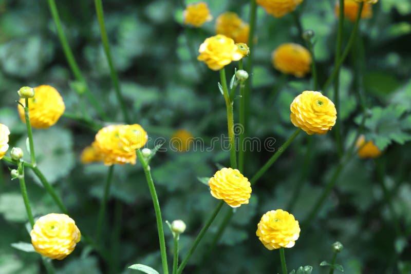 Piękni jaskrawi jaskiery w ogródzie wiosna kwiat zdjęcie royalty free